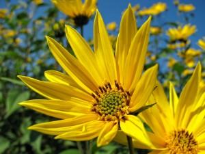 sunflower-229719_1280